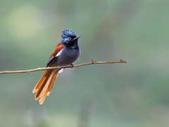 African paradise -flycatcher (Arshad Aashraf) Tags: animal animalthemes arshadashraf beautyinnature birdsofkenya birds birdslover colour feather nature naturephotography nautrallight nopeople outdoor pakistan style wildlife wildlifephotoes