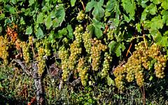 Générosité (Diegojack) Tags: vaud suisse echandens d500 nikon nikonpassion abbesses nature vinns vignes raisons générosité vendanges