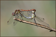 Common Darter (image 2 of 2) (Full Moon Images) Tags: rspb fen drayton lakes wildlife nature reserve cambridgeshire insect macro common darter mating male female dragonfly