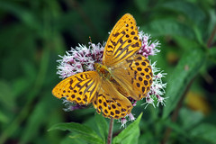 IMGP6885 Silver-washed Fritillary, Lackford Lakes, July2018 (bobchappell55) Tags: silverwashed fritillary argynnispaphia butterfly insect wild wildlife nature lackfordlakes suffolk
