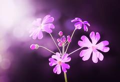 Pinky (M J Adamson) Tags: plants flowers daisy pink spring nz newzealand