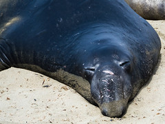 Northern male Elephant Seals (Mirounga angustirostris) - Piedras Blancas, Big Sur, CA (Jun C Photography) Tags: olympus microfourthirds omd mkii ca sandiego hwy1 u43 californiacoast em5 sansimeon markii elephantseals mk2 mft