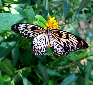 PAPER KITE - Wilhelma Stuttgart Schmetterlings-Haus 2017-06-18 - #002 crop
