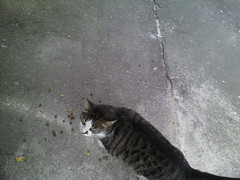IMG19592 (chicore2011) Tags: tabby disappointed