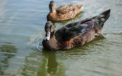 Cayuga with mallard friend (PChamaeleoMH) Tags: birds cayuga cayugaduck clapham claphamcommon ducks london mallards mountpond