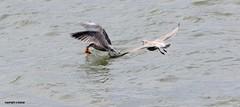J78A0865 (M0JRA) Tags: birds flight flying wildlife rats walks gardens parks fields trees lakes ponds ducks swans rspb