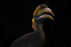 Hornbill - Luminar2018 (KWPashuk) Tags: nikon 7200 tamron tamron18400mm lightroom luminar luminar2018 kwpashuk kevinpashuk hornbill bird portrait wildlife zoo toronto ontario canada torontozoo