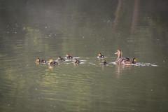 eight (photalena) Tags: ducks summer crazytuesdaytheme 7dwf boot elsass
