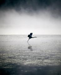 Colorado: Blue Heron taking off Piney Lake. (icarium.imagery) Tags: altitude bluehour cold colorado canoneos5dmarkiv fog lake mist morning pineylake sunrise travel unitedstates usa vail water sigma100400mmf563dgoshsmart animal fauna bird flight heron reiher takeoff ardeidae