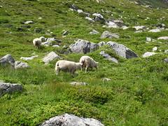 Rando 2018 (248) (Mark Konick) Tags: alpen alpes alpi alps backpacking bergsee bergtour bergwandern bivouac gebirge hiking lac lago lake markkonick montagnes mountains nathaliedeligeon randonnée trekking wandern italy italie italia italien france francia frankreich bouquetin ibex cabramontés stambecco steinbock chamois camoscio gamuza rebeco gams gämse gemse gämsbock gemsbock moutons sheep vaches vacas kühe mucche vacche cows cascade chuted'eau waterfall wasserfall cascata cascada saltodeagua