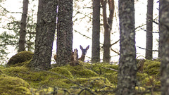 When you are in the woods, do you ever get that feeling that you're being watched? (prajpix) Tags: invernesshire highlands scotland nature beauty beautiful deer roe kid young baby tree trees woods forest pinewoods pine plantation mammal wild animal wildlife backlit voyeur watch watcher ears scenery land landscape