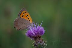 small copper (Bart Hardorff) Tags: alblasserwaard barthardorff hardinxveldgiessendam thenetherlands butterfly vlinder vuurvlinder lycaenaphlaeas smallcopper