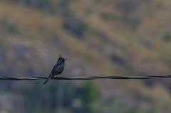 Black bird (mcvmjr1971) Tags: baependi parque estadual da serra do papagaio minas gerais brasil nikon d7000 mmoraes viagem travel rural zona paisagem landscape montanhas 2018 crested blacktyrant