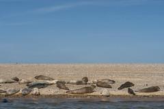 2018_Norfolk_BlakeneyPoint_Seals_5 (atkiteach) Tags: norfolk uk england blakeney blakeneypoint seal seals water sea seaside northsea