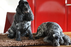 Golden Moment & little Confidential (excellentzebu1050) Tags: dog doggy pet farm indoors animalportraits animal animals coth5