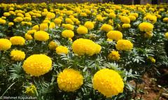 Cyprus flowers (mehmetkucukalkan) Tags: cyprus northcyprus mediterranian island photography ignicosia kyrenia famagusta travel traveller mirrorless