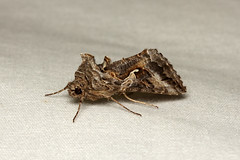 Rachiplusia ou (Gray Looper Moth) - Hodges # 8895 - Everett, WA (Nick Dean1) Tags: animalia arthropoda arthropod hexapoda hexapod insect insecta lepidoptera noctuidae plusinae washingtonstate washingtonusa everett washington rachiplusiaou grayloopermoth