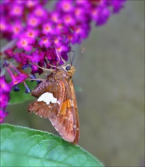 Skipper (Sue90ca Several Die From Flu...GET YOUR SHOT) Tags: canon 6d bee butterfly skipper