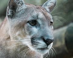 Florida Panther (Ron Buening) Tags: floridapanther panther bigcat cat lowrypark zoo tampa florida