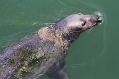 Seal (tguttilla) Tags: chathamharbor capecod ma seal ocean massachusetts