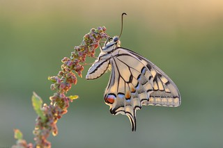 *the swallowtail during sunrise*