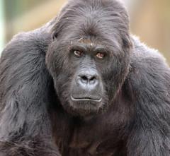 eastern lowlandgorilla Amahoro Antwerpen JN6A8201 (j.a.kok) Tags: ape aap animal africa afrika antwerpen antwerpzoo gorilla easternlowlandgorilla lowlandgorilla amahoro mammal monkey mensaap primate primaat zoogdier dier