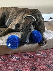 Odin&Toy (Alpen Schatz - Mary Dawn DeBriae) Tags: happy customer alpenschatz bernesemountaindog dog swissdogcolar hunterswisscrosscollar doggles stein