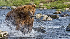 I catch you! (paolo_barbarini) Tags: kamchatka wildlife orsi bears animali animals fishing salmon mammals acqua water nationalgeographic animalplanet russia
