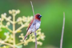 Pole Vaulting Munia (Subash BGK) Tags: scalybreastedmunia spicyfinch spottedmunia nutmegmannikin estrildidfinch finch bird