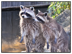 Procyon lotor (myphotomailbox) Tags: rotterdam netherlands blijdorp zoo outdoor animal wood zoogdier raccoon wasbeer waschbär rakun ratonlaveur američkirakun 浣熊 szoppracz mosómedve tvättbjörn ρακούν アライグマ रॅकून gấumèo pesukarhu raton енотполоскун 아메리카너구리 þvottabjörn chinchamayuatu mammals säugetiere memeliler binatangmenyusui mammifère sûchdieren gjitarët mamífers θηλαστικά स्तनधारियों mamalia 哺乳類 mammalibus emlősök mammiferi бозайници хөхтөнамьтад ماملیوں الثدييات 哺乳動物 mamifè