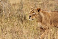 Poised to strike (Nagarjun) Tags: lioness nairobinationalpark kenya eastafrica wildlife carnivore bigcat bigfive female safari gamedrive