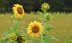 Summer Flowers (hd.niel) Tags: sunflowers flowers colourful latesummer fields