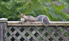Fenced Friday (Sue90ca Catching Up Is So Very Hard To Do) Tags: canon 6d fencedfriday fence squirrel grey