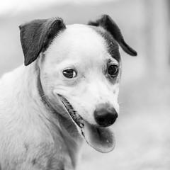 Freddie02Sep2018134-Edit.jpg (fredstrobel) Tags: dogs blackandwhite places atlanta usa pets animals ga pawsatanta phototype pawsdogs decatur georgia unitedstates us