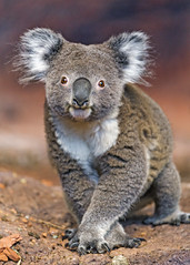Cute koala posing well (Tambako the Jaguar) Tags: koala marsupial posing cute face portrait standing zürich zoo switzerland nikon d5