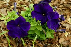 Petunias in my garden (Tatters ✾) Tags: australia home mygarden petunia solanaceae flowers purpleflowers dark