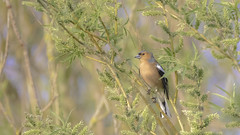 Chaffinch ( Male ) (- A N D R E W -) Tags: male chaffinch tree sky canon 80d tamron 150600mm nature
