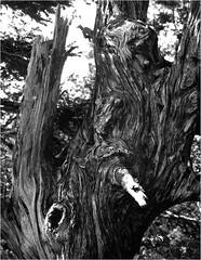 vieux bois … (JJ_REY) Tags: arbre tree vieuxbois oldwood film largeformat 4x5 shanghai100 rodinal standdevelopment toyofield 45a sironarn 150mmf56 epson v800 alsace france