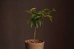 Citrus sp. (ozielonych) Tags: plant roślina pflanze citrus