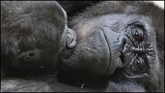 _SG_2018_02_0005_IMG_3382 (_SG_) Tags: nachwuchs baby newblood offspring newborn new born gorilla apes affe affen ape monkey menschenaffe primaten primates schwarzundweiss schwarzweiss blackwhite bw black white blackandwhite schwarz weiss
