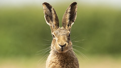 Hare head on (Thomas Winstone) Tags: england unitedkingdom gb canonuk canon 300mm28mk2 mammal mammals uk countryside outdoor forest forestry wild wildlife nature canon1dxmark2 3lt 3leggedthing thomaswinstonephotography bbc springwatch bbcspringwatch nationalgeographic hare brownhare