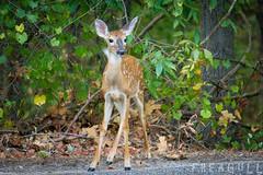 Precious (Freagull) Tags: fawn deer babydeer spotteddeer