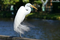 Messy hair don't care (Shannon Rose O'Shea) Tags: shannonroseoshea shannonosheawildlifephotography shannonoshea shannon greategret egret bird beak feathers wings white breedingplumage lores skinnylegs birdyfeet nature wildlife waterfowl alligatorbreedingmarshandwadingbirdrookery gatorland orlando florida gatorlandbirdrookery rookery wild wildlifephotography wildlifephotographer wildlifephotograph flickr wwwflickrcomphotosshannonroseoshea outdoors outdoor colorful colourful fauna ardeaalba camera canon canoneos80d canon80d eos80d 80d canon100400mm14556lisiiusm femalephotographer girlphotographer womanphotographer shootlikeagirl shootwithacamera throughherlens water bokeh art photo photograph photography