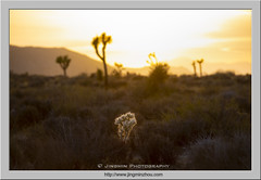 Sunset (Virtual Reality in film) Tags: joshuatreenp joshuatree cactus afternoon sunset desert shadow