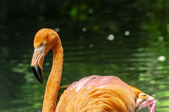 FENICOTTERO    ----    FLAMINGO (cune1) Tags: uccelli birds animali animals acqua water stagni ponds colori colors italia parcodelticino