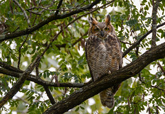 Great Horned Owl (JDA-Wildlife) Tags: birds birdsofprey raptors nikon nikond7100 tamronsp150600mmf563divc jdawildlife johnny portrait closeup eyecontact owls owlgreathornedowl greathornedowl whatbirdbestofday gorgeous wow