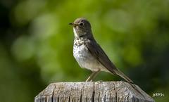 Swainson's Thrush (jt893x) Tags: 150600mm bird breeding catharusustulatus d500 jt893x nikon nikond500 sigma sigma150600mmf563dgoshsms songbird swainsonsthrush thrush alittlebeauty coth thesunshinegroup coth5