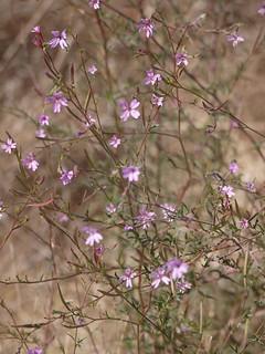 annual willowherb