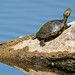 Pond Slider Turtle