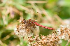 rote libelle (mwo_w_GERMANY) Tags: mwo mwoaqwode aqwocom aqwode wwwaqwocom wwwaqwode hintergrundbild wallpaper rote rot libelle rouge red libellule dragonfly blutrote heidelibelle sympetrum sanguineum